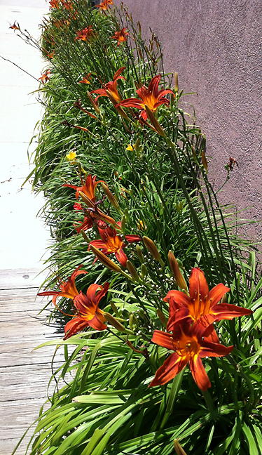 Orange day lilies at the Boardwalk Hotel
